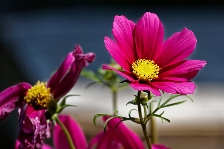 cosmea, leaflet leaved schmuckblume, cosmos, cosmea bipinnata, kosmee, flower, red