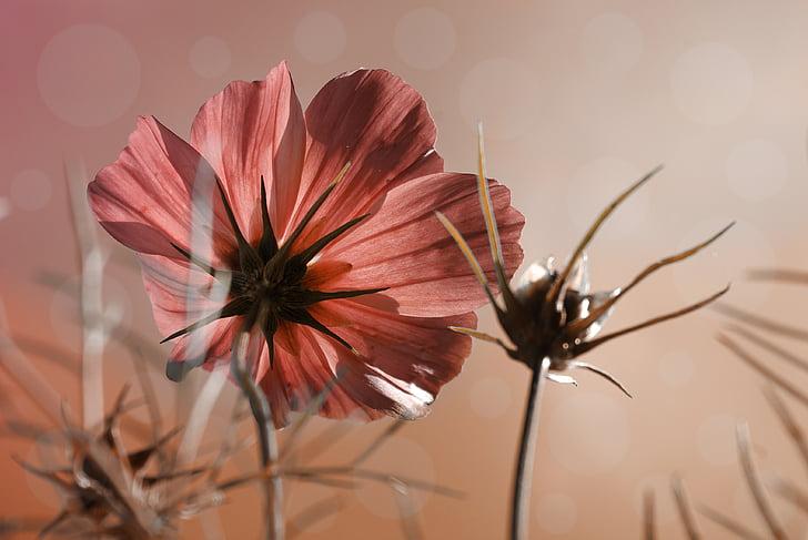 cosmea, flower, plant, photo, grasses, sky, blossom