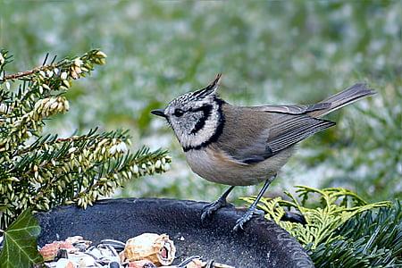 птица, синигер, Качулат синигер, lubatumtit, зимни, храна