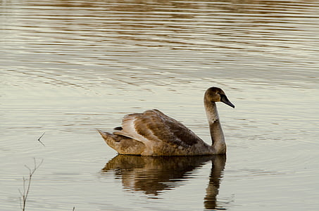 swan, animals, nature, bird, majestic, pond