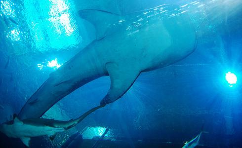 Valhaj, hajar, akvarium, havet, djur, Underwater