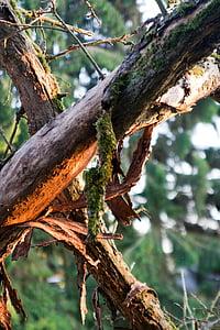 fusta morta, molsa, arbre, natura