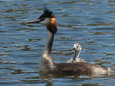 grebe, waterfowl, young, mother, child, nature