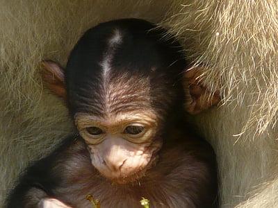 nadó mico, muntanya de mico, mico, Salem, Atles ape, animal, primats
