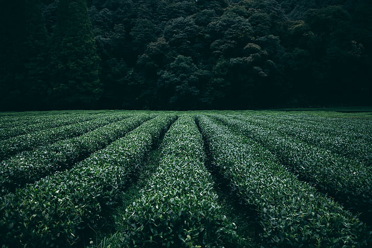 plantation, tea, field, agriculture, rural, farm, asia