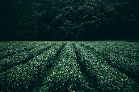 plantation, tea, field, agriculture, rural, farm, asia