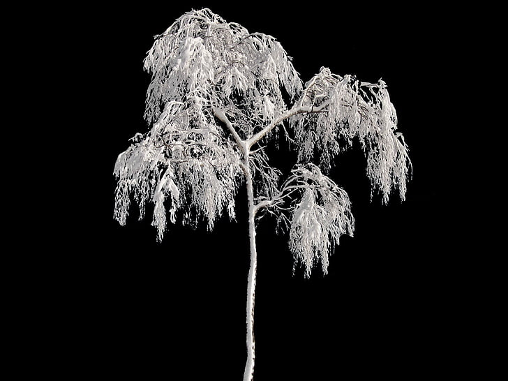 tree, winter, wintry, snow, cold, frost, black and white