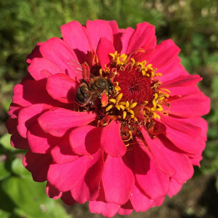 cínie, Bee, včiel, opelenie, voľne žijúcich živočíchov, peľ, kvet