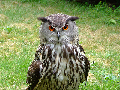 кукумявка орел, посочете към, бухал, остър поглед, птица, животните, граблива птица
