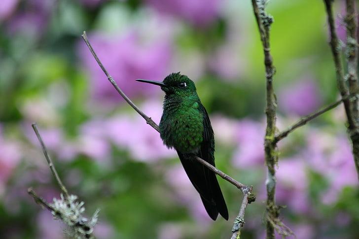 bird, green bird, green, hummingbird, nature, wildlife, animal