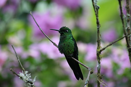 bird, green bird, green, hummingbird, nature, wildlife, animal