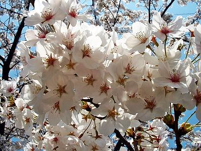 Sakura, flors, cirera, Japó, Angèlica, arbre, natura