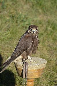 falcon, brown, falconry, bird, raptor, animal, portrait