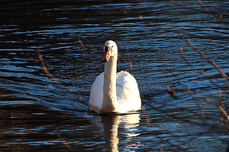 swan, water, water bird, bird, swans, animal, white