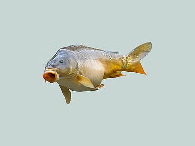carp, fish, angler, fischer, fishing, food, creature
