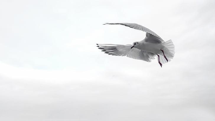 kiras, sparnas, paukštis, jūra, skristi, Venecija, vandens paukščių
