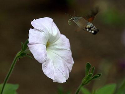 moth, hummingbird, flower, pollen, flight, insecta