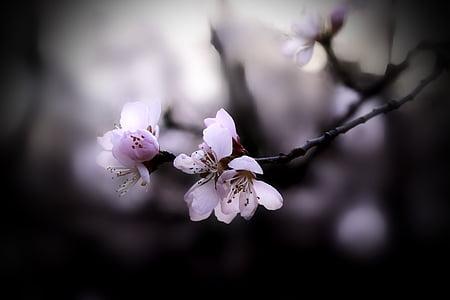 flor de préssec, primavera, natura, branca, primavera, arbre, pètal