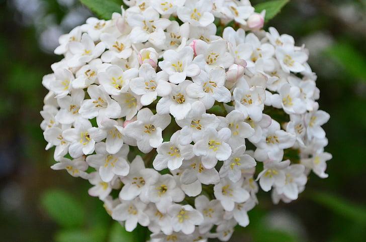 liliowy, fioletowy krzew, kwiat, Bloom, biały, kwiat
