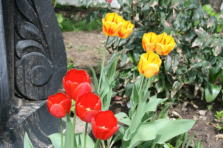 flowers, blooms, bright, tulips, red, yellow, in a garden