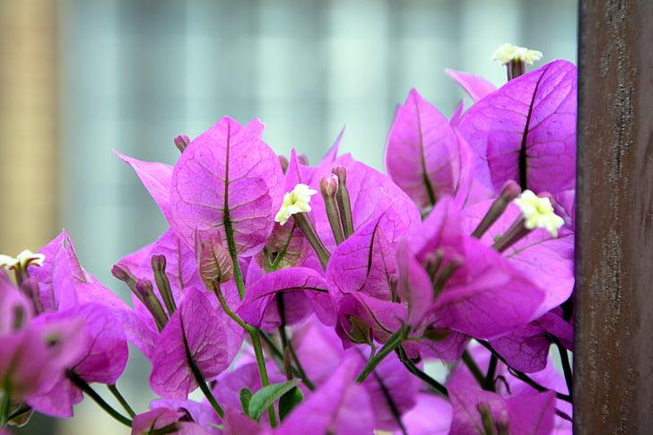 Бугенвиль, цветение, розовый, Цветы, Весна