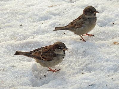 Врабчета, врабче, птици, зимни, сняг, природата