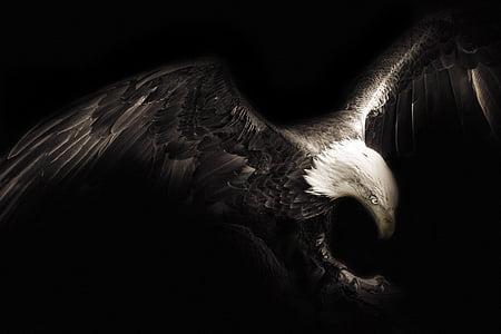 Eagle, lind, loominguline, Eagle - lind, Wildlife, looma, röövlind