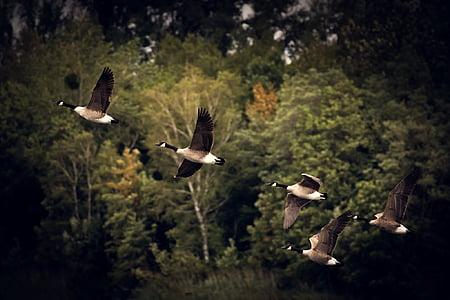 jesień, gęsi, Złota Jesień, Jesienny nastrój, dzikie gęsi, krajobraz, woda ptak
