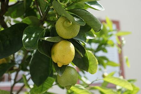 llimona, arbre, verd, Agra, fruita, llimoner, cítrics