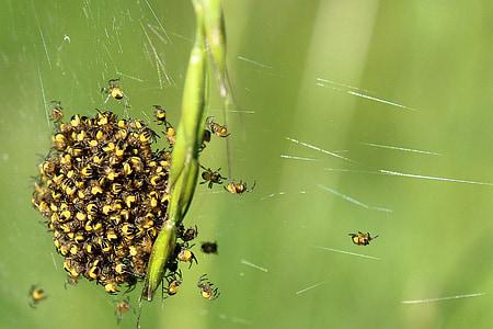 spin, arachnids, close, small spider, network, nest, small