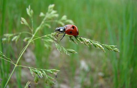 vĩ mô, mùa hè, côn trùng, bọ rùa, Thiên nhiên, một trong những động vật, động vật hoang dã