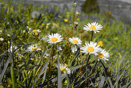 daisy, daisies, close, spring, meadow, bloom, wildflowers