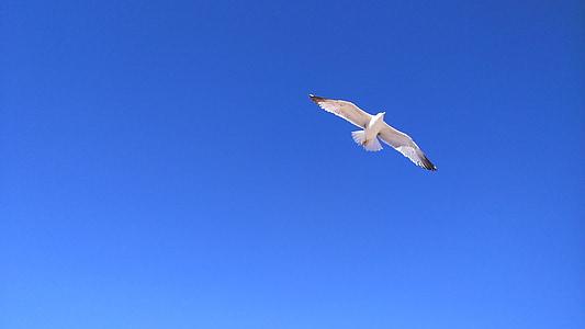 Gavina, cel, ocell