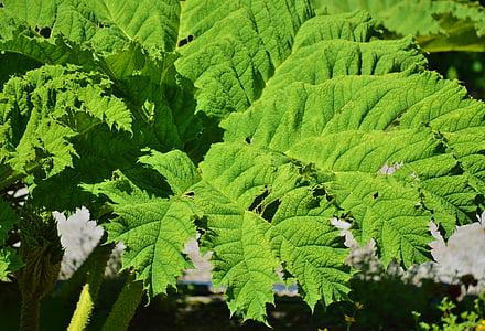 mamutie leaf gunnera, gunnera tinctoria, Leaf, rastlín, tmavozelená, pesto, Zelená