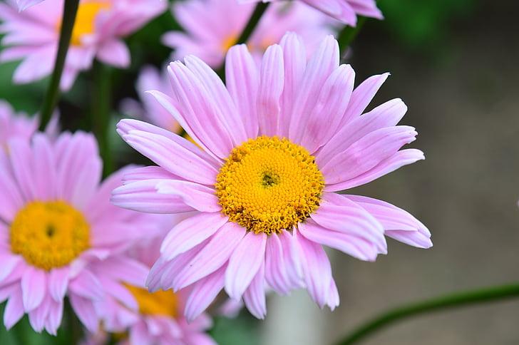 daisy, flower, daisies