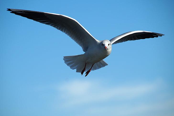 Чайка, рибарка, Птичият полет, птица, плаващи, Чайка, природата