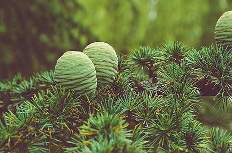conifer, cone, pine, green, leaf, conifer cone, plant