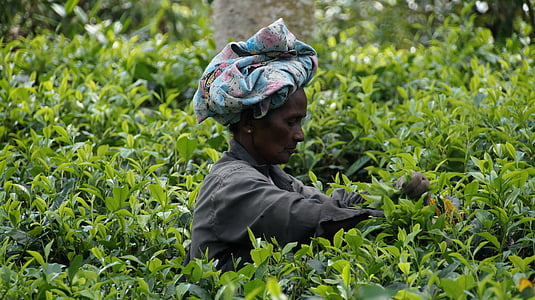 Srí lanka, zber čaju, čaj plantáž, Tee