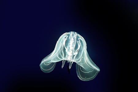 Meduza, more, žarnjaci, morskih životinja, urticant, oceana, morsko dno