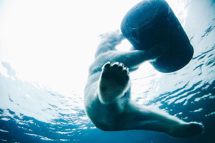 dzīvnieku, Polar bear, zemūdens, ūdens, Sports, pilda, vīrieši