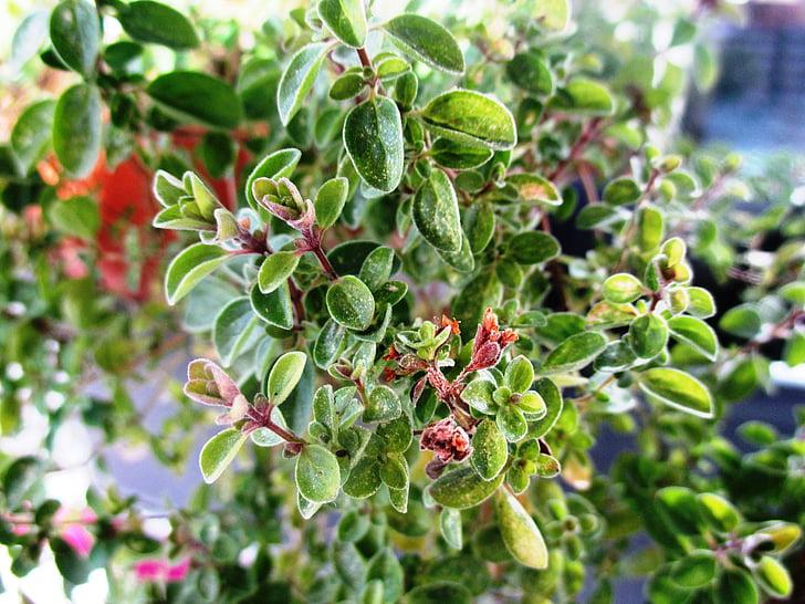 Μαντζουράνα, κουζίνα βότανο, βότανο, φαρμακευτικό φυτό, Κήπος βότανα, άγριο φυτό, φυτό