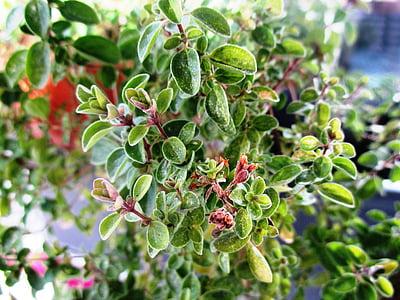 marduix, herbes de cuina, herba, planta medicinal, herbes del jardí, planta silvestre, planta