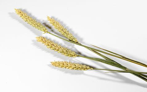 δημητριακά, σιτάρι, εκστρατεία, τα αυτιά, τρόφιμα, το καλοκαίρι, το πεδίο