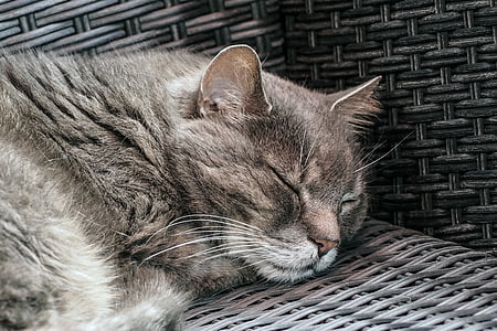 kass, Kodukass, uni, PET, Hall, lõdvestunud, mis asub