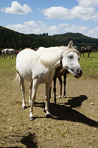 Mare, kalup, Arapi, konj, čistokrvni arapski, pašnjak, konjsku glavu