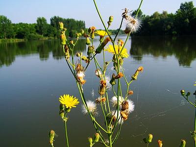 rumena plevela, cvetoči, jezero, narave