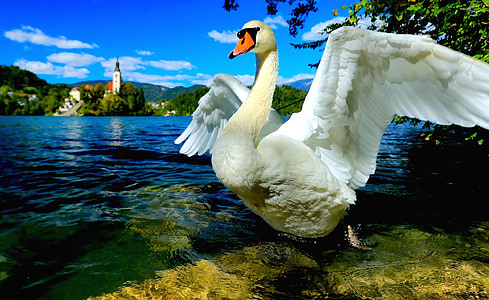 swan, swan lake, lake bled, slovenia, central europe, bird, nature