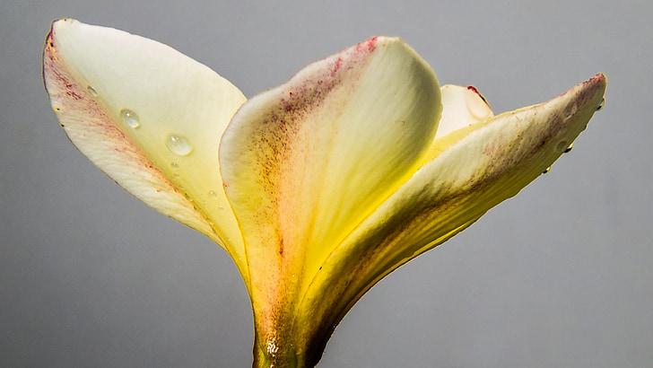 Blume, Blüte, Bloom, weiß gelb, in der Nähe, Frangipani, Plumeria
