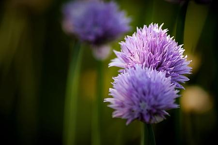 cebollino, flor, flor, floración, cerrar, púrpura, flor silvestre