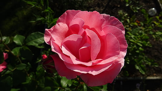 上升, 粉色, 粉红色的玫瑰, 玫瑰绽放, 玫瑰绽放, 开花, 绽放